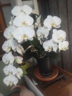 胡蝶蘭の蕾が、すべて咲き揃いました。