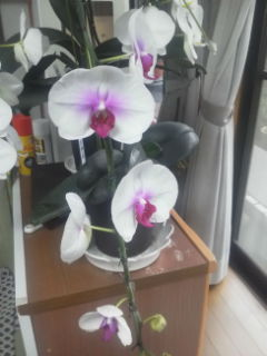 色付きの胡蝶蘭、蕾が、6個開きました。