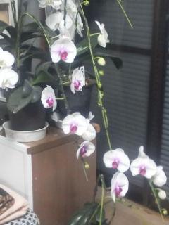 色付きの胡蝶蘭、こんなに咲きました。