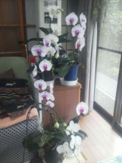 胡蝶蘭の乱舞咲き