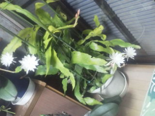 姫月下美人が咲きました。