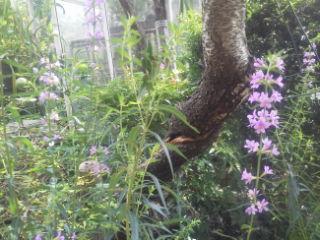 お庭のミソハギが咲きました。