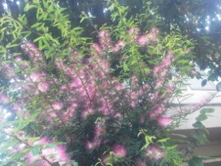 庭の合歓木の花